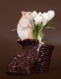 Domestic rat sniffs spring crocuses. The domestic rat sniffs spring crocuses on a brown background Stock Image