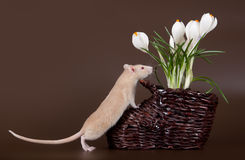 Domestic rat sniffs spring crocuses Royalty Free Stock Photos