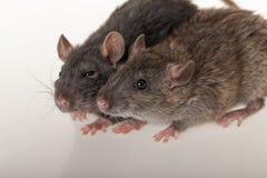 Domestic rats closeup