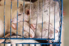 Domestic rats sleeping in cage Royalty Free Stock Image