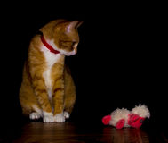 Domestic red cat plays with a toy Stock Images