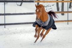 Free Domestic Red Horse Walking In The Snow Paddock In Winter. The Horse In The Blanket Stock Images - 140473834