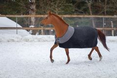 Free Domestic Red Horse Walking In The Snow Paddock In Winter. The Horse In The Blanket Royalty Free Stock Images - 140474489