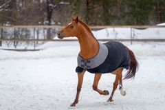 Free Domestic Red Horse Walking In The Snow Paddock In Winter. The Horse In The Blanket Royalty Free Stock Images - 140475519