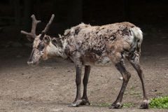Domestic reindeer (Rangifer tarandus f. domestica) Stock Images