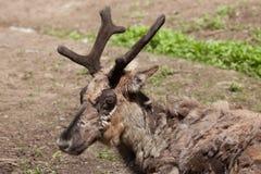 Domestic reindeer (Rangifer tarandus f. domestica). Also known as the domestic caribou. Wildlife animal Stock Photo