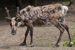 Domestic reindeer (Rangifer tarandus f. domestica). Also known as the domestic caribou. Wildlife animal Royalty Free Stock Photo