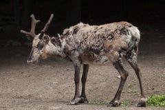Domestic reindeer (Rangifer tarandus f. domestica) Stock Images
