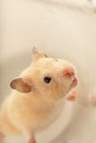 Domestic rodent Stock Images