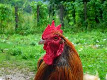 Domestic rooster on grass field. In rural city of Guca in Serbia stock photo