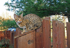 Domestic Serval Savannah Kitten Royalty Free Stock Photography