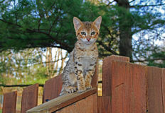 Domestic Serval Savannah Kitten. A spotted gold colored domestic Serval Savannah kitten on a wooden fence with green eyes stock photography