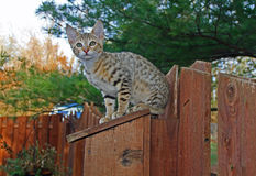 Domestic Serval Savannah Kitten Royalty Free Stock Image