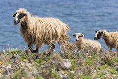 Domestic sheeep n mountains on Greek Mediterranean island Crete. Royalty Free Stock Photos