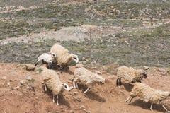 Domestic sheeep n mountains on Greek Mediterranean island Crete. Stock Images