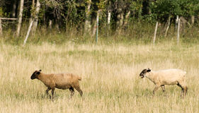 Domestic Sheep. Two domestic sheep are walking through a small field during the day Royalty Free Stock Photos