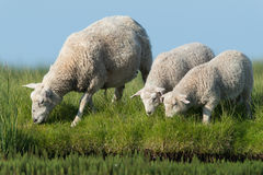 Domestic Sheep Royalty Free Stock Image