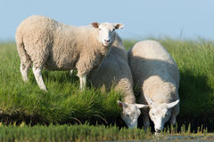 Domestic Sheep Stock Photography