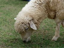 Domestic sheep grazing or eating green grass in meadow or pasture in a farm royalty free stock photo