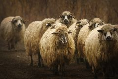 Domestic sheep herd Stock Photos