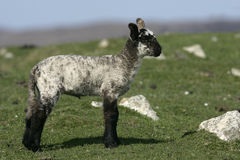 Domestic sheep Royalty Free Stock Photo