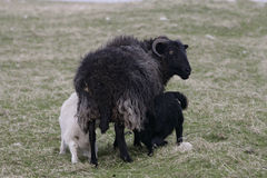Domestic sheep Royalty Free Stock Photography