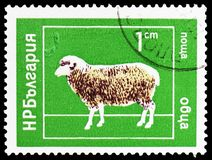 Domestic Sheep Ovis ammon aries, Domestic Animals serie, circa 1974 stock images