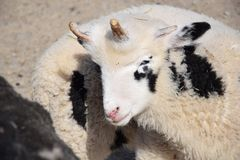 Domestic Sheep Ovis ammon f. aries Stock Photo royalty free stock images