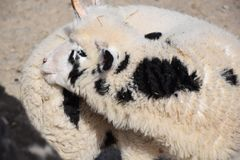 Domestic Sheep Ovis ammon f. aries Stock Photo royalty free stock photos