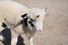 Domestic Sheep Ovis ammon f. aries Stock Photo stock photography