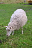 Domestic sheep. An ovis grazing green grass royalty free stock photo