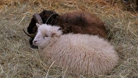 Sheep in the straw. Domestic sheep Ovis orientalis aries lie in the straw, sheepfold stock video