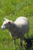 Domestic sheep on pasture. Vernayaz, Martigny, Switzerland Stock Photos