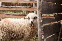 Domestic sheep in a pen Stock Photos