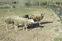 Domestic sheep Royalty Free Stock Image