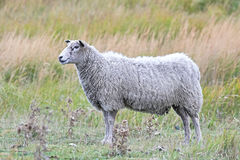 Domestic sheep Stock Photography