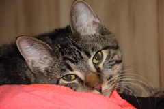 Domestic Short Hair Cat. Male domestic shorthair cat looking in the camera. Ears pointed up. He's laying on a pink shirt and looks so comfortable by the look in Stock Photo
