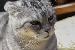 Domestic short-haired Domestic Shorthair American Shorthair. royalty free stock images