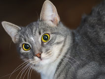 Domestic short-haired young whiskered cat looking Stock Photo