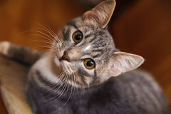 Domestic short-haired young whiskered cat sitting and looking Royalty Free Stock Image
