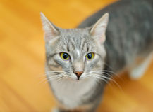 Domestic short-haired young whiskered cat Stock Photography
