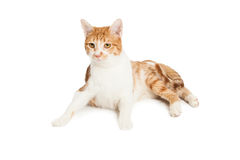 Domestic Shorthair Cat Laying Down Stock Photo