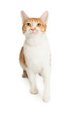 Domestic Shorthair Cat Looking Up Royalty Free Stock Photos