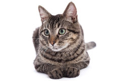 Domestic Shorthair Cat Portrait Royalty Free Stock Photo