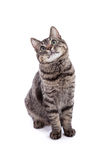 Domestic Shorthair Cat Portrait Stock Photography