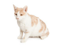 Domestic Shorthair Cat sitting to side Royalty Free Stock Photos