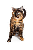 Domestic Shorthair Mixed Breed Calico Cat Sitting Stock Images