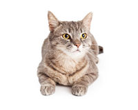 Domestic Shorthair Tabby Cat Looking Up Royalty Free Stock Photos