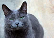 Domestic Shorthaired Cat Staring Intently Royalty Free Stock Photos