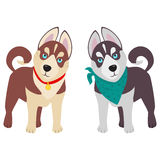Domestic Siberian husky breed on the white background. Royalty Free Stock Photo